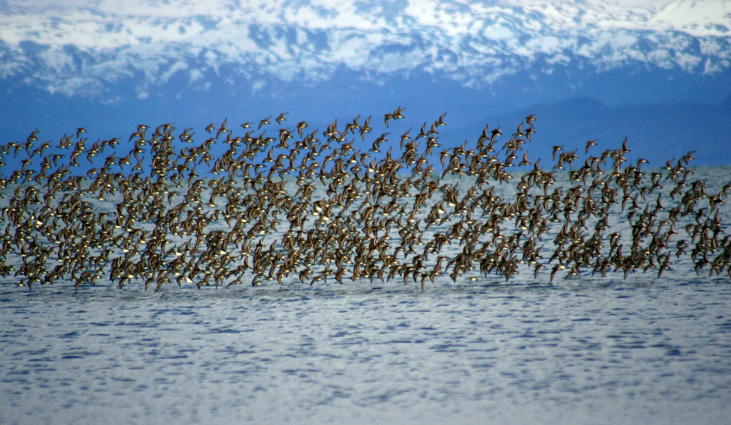 Sandpipers in flight reduced