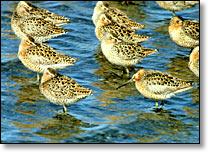 http://kachemakshorebird.org/wp-content/uploads/2015/12/fundingbirds.jpg