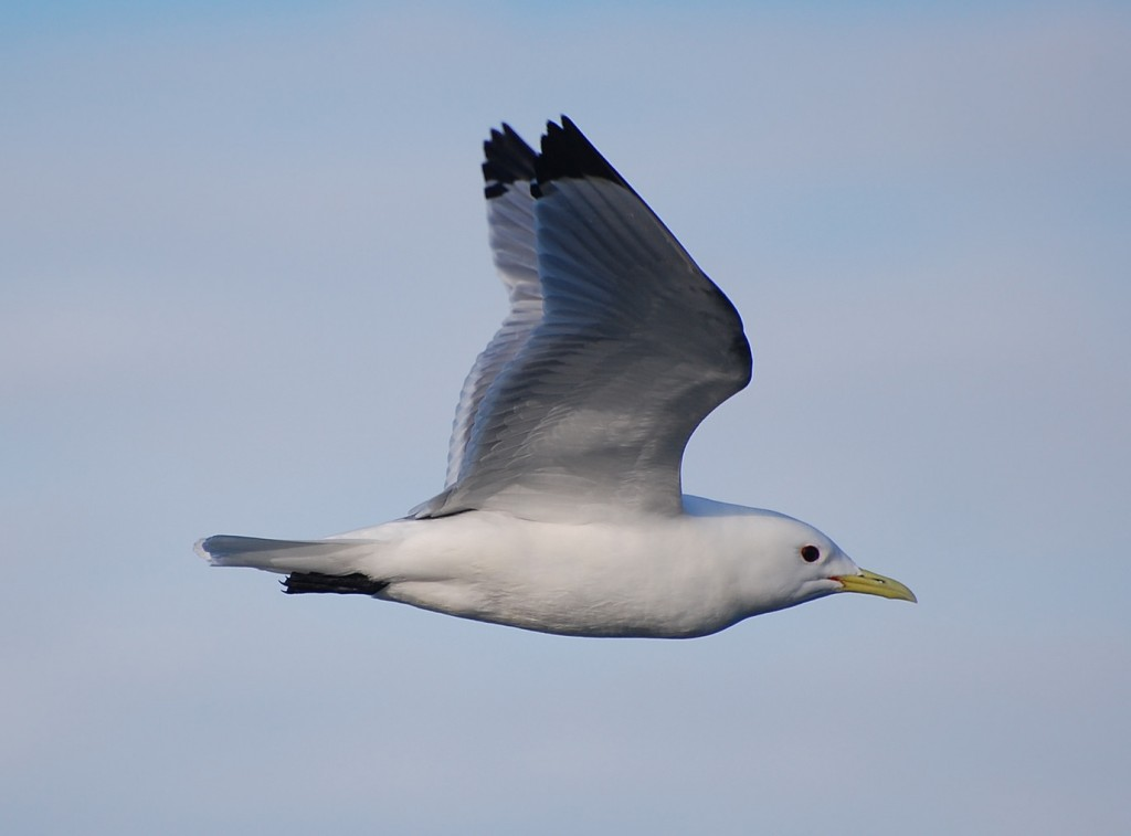 Black-legged Kittiwake_sowl